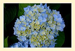 Hydrangea-macro2.jpg