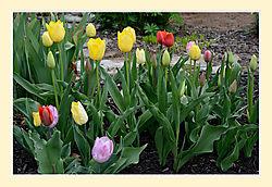 Tulips31.jpg