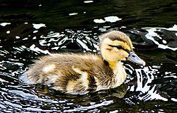 BabyDuck_July22_2CR.jpg