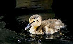 BabyDuck_July22_3CR.jpg