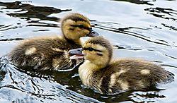 BabyDucks_July22_2CR.jpg