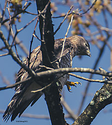 BroadWingedHawk_Apr30_21_CR1.jpg
