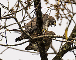 BroadWingedHawk_Apr30_21_CR11.jpg