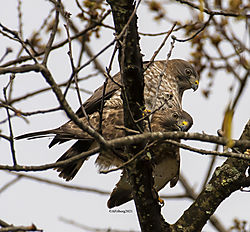 BroadWingedHawk_Apr30_21_CR17.jpg