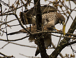 BroadWingedHawk_Apr30_21_CR18.jpg