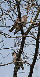 BroadWingedHawk_Apr30_21_CR19.jpg