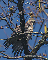 BroadWingedHawk_Apr30_21_CR2.jpg