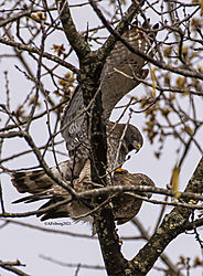 BroadWingedHawk_Apr30_21_CR7.jpg