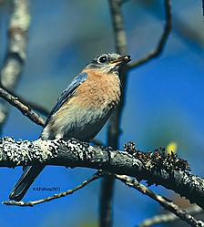EasternBluebird_May13_21_CR1.jpg