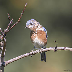 EasternBluebird_Sept25_21_CR1.jpg