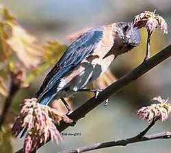 FemaleEasternBluebird_May15_21_CR2.jpg