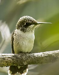 FemaleRufousHummingbird_Aug22_2CR.jpg