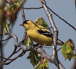 Goldfinch_Apr30_21_CR1.jpg