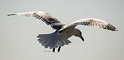 Gulls_Feb28_2018_CR5.jpg