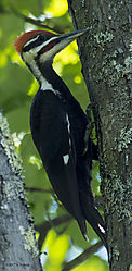 MalePileatedWoodpecker_July2_12_CR.jpg