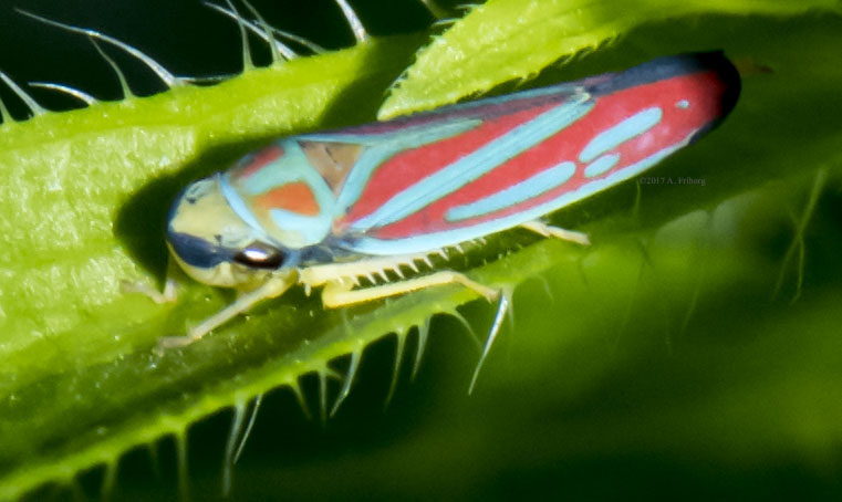 CandyStripedLeafHopper_Oct3_1CR