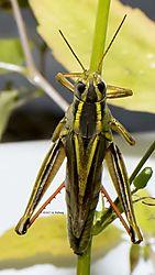 Grasshopper_Oct8_1CR.jpg