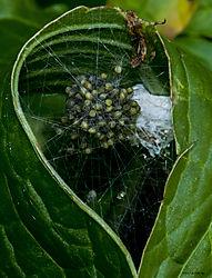 SpiderNest_July9_4CR.jpg
