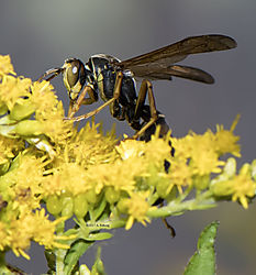 Wasp_Sept21_3CR.jpg
