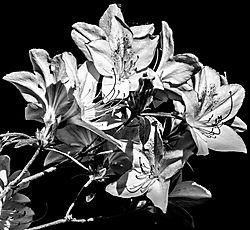FloweringPurple_May21_3BWCR1.jpg