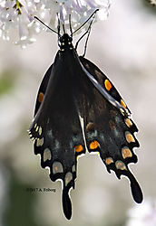 BlackSwallowTailButterfly_June11_5CR.jpg