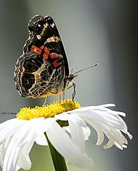 Butterfly_July4_6CR.jpg