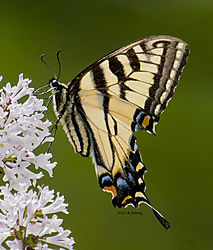 CanadianTigerSwallowtail_June11_1ACR.jpg