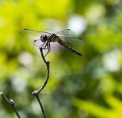 Dragonfly_July9_2CR.jpg