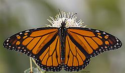 MonarchButterfly_Aug31_21_CR1.jpg