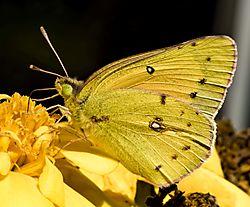 YellowButterfly_Oct8_3CR.jpg