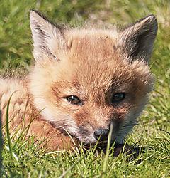 FoxKits_Apr24_21_CR11.jpg