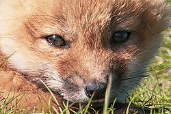 FoxKits_Apr24_21_CR12.jpg
