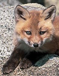 FoxKits_Apr24_21_CR14.jpg