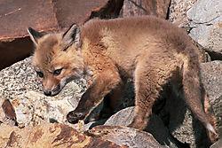 FoxKits_Apr24_21_CR16.jpg