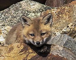 FoxKits_Apr24_21_CR4.jpg