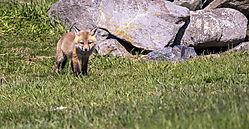 FoxKits_Apr24_21_CR5.jpg
