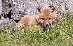 FoxKits_Apr24_21_CR6.jpg