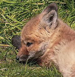 FoxKits_Apr24_21_CR8.jpg