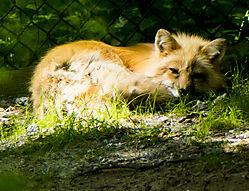 SLSC_Fox_July_12_1CR.jpg