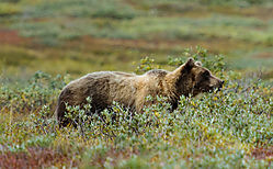 Denali_National_Park_Aug_21_2015_Brown_Grizzly_Bear_43_a.jpg