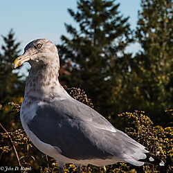 The_Hungry_Bird_Acadia_National_Park-1.jpg