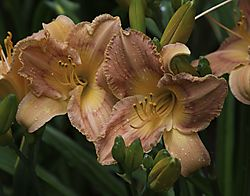 Daylily_Photo_7.jpg