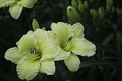 Daylily_Photo_8.jpg
