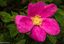 The_Wild_Rose_in_Maine-1.jpg