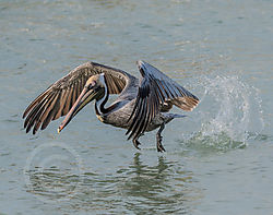 Brown_pelican_at_pier_evening-3.jpg
