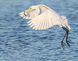 egret_at_beach-26.jpg