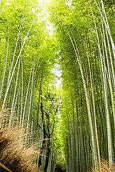 Arishiyama_Bamboo2_12_Aug_2018_Low_Res.jpg