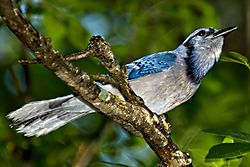 BlueJay_14_May_2020.jpg