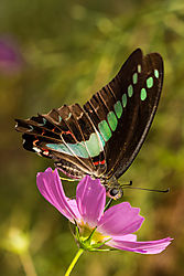 Blue_Butterfly_Kanazawa_7_Oct_2019_Low_Res.JPG
