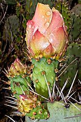 Cactus_Flower3_16_May_21.jpg